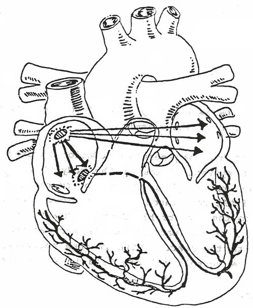 cardiovascular system drawing at getdrawings com