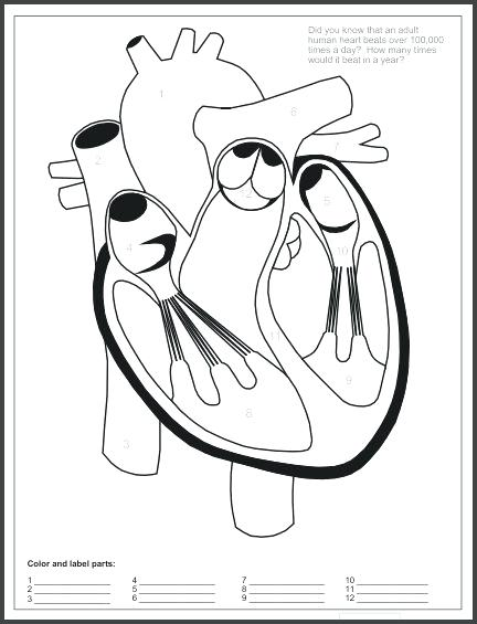 blood vessel coloring pages - photo#20