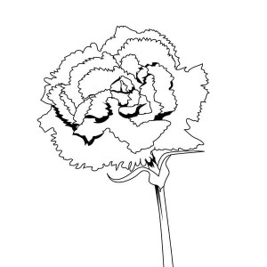 Carnation Flower Drawing At Getdrawings Com Free For Personal Use