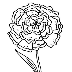 carnation flowers drawing at getdrawings com free for personal use