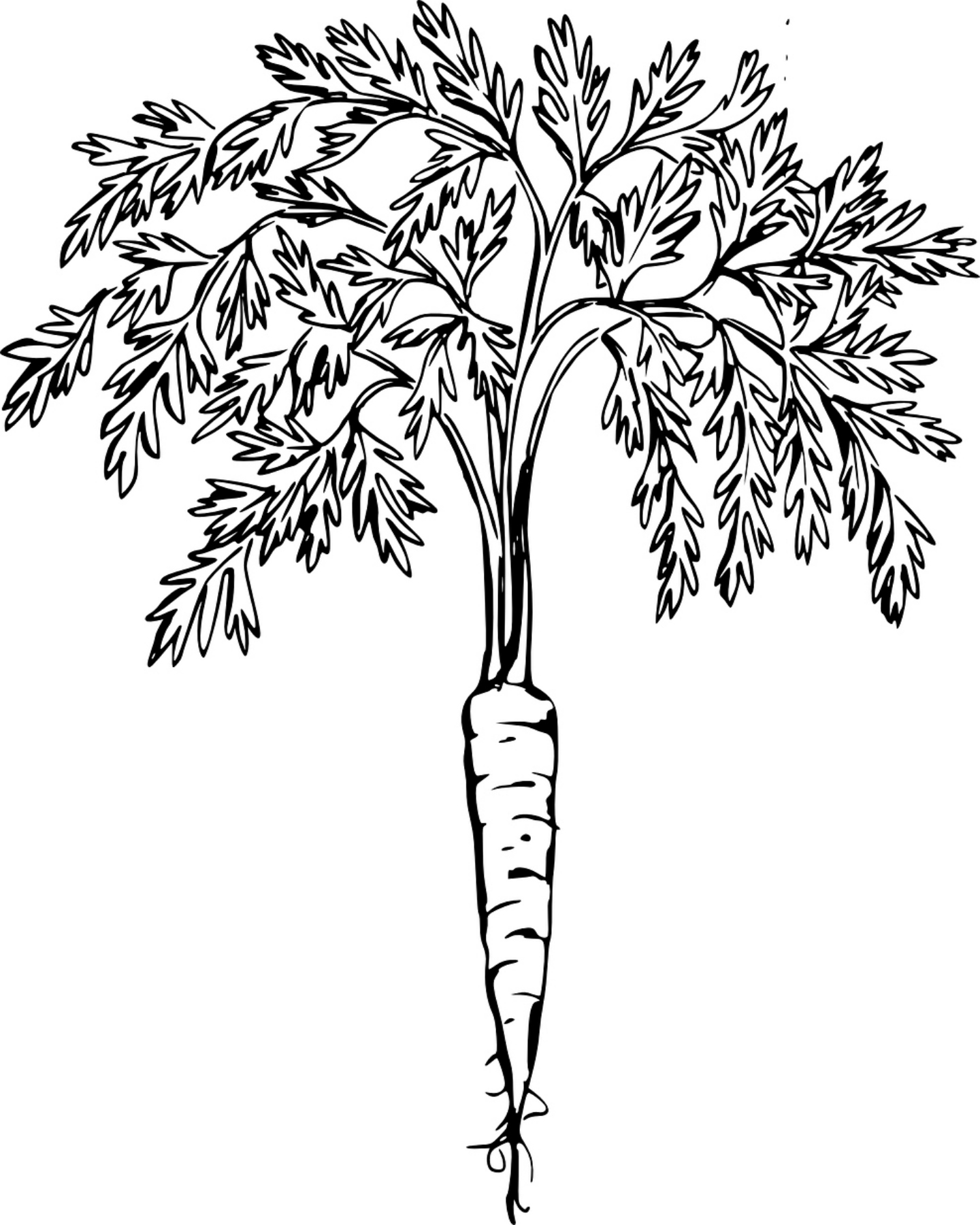 1440x1800 Free Printable Carrot Coloring Page ~free Printables~