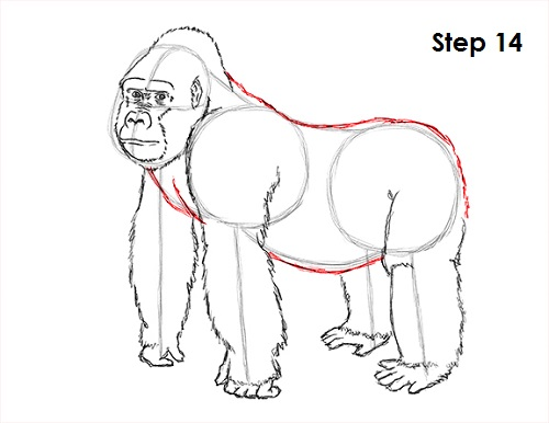 500x386 How To Draw A Gorilla
