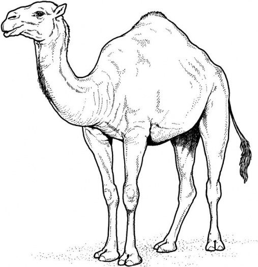 507x525 Camel 8 Coloring Page Illustration Inspiration