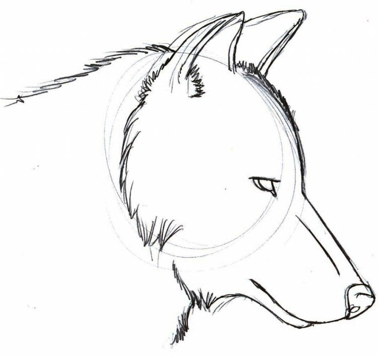 Cartoon Drawing Of A Wolf At Getdrawings Com Free For Personal Use