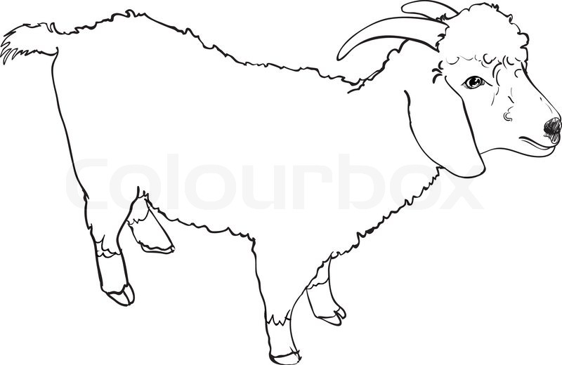 800x520 Sketch Vector Of Angora Goat On White Background Stock Vector