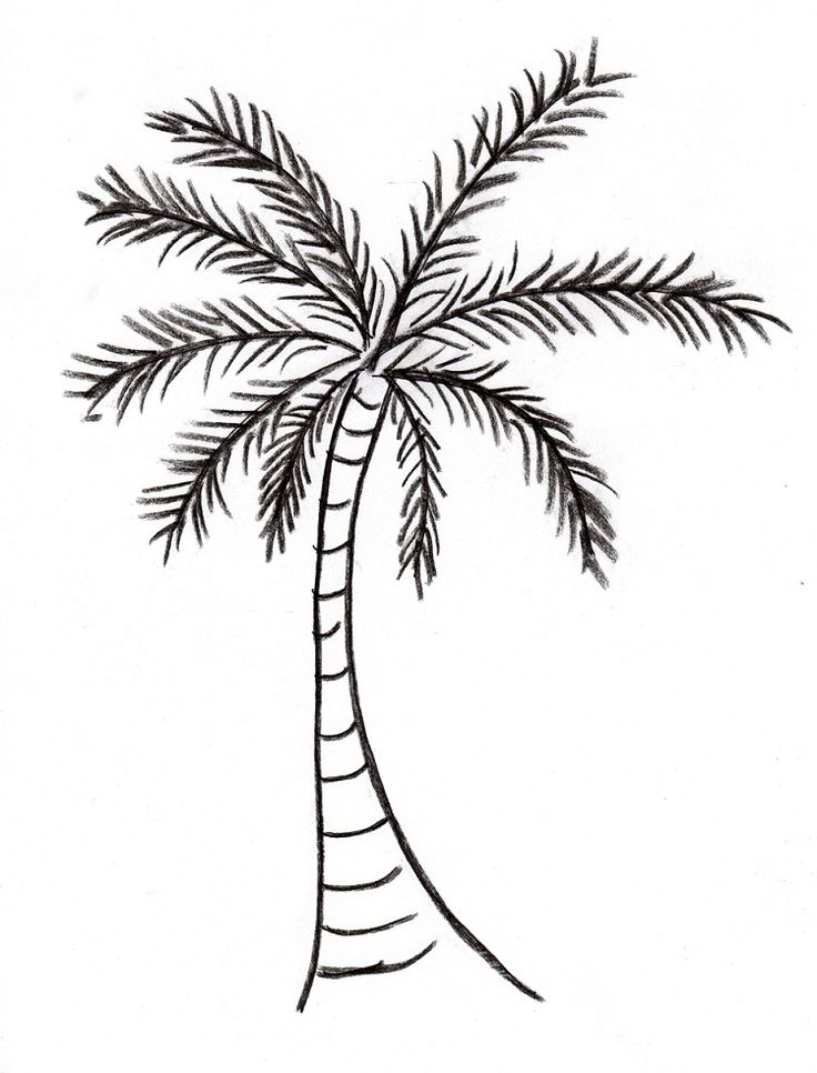 736x966 Pictures Coconut Tree Pictures Drawing,