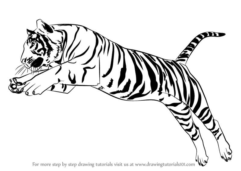 800x566 Learn How To Draw A Tiger Jumping (Big Cats) Step By Step
