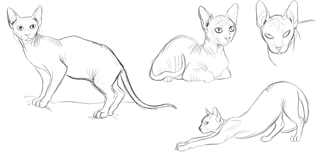 Cat Anatomy Drawing at GetDrawings.com | Free for personal use Cat ...