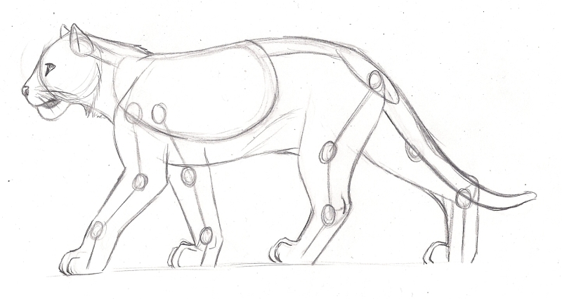 800x426 Feline Anatomy Study