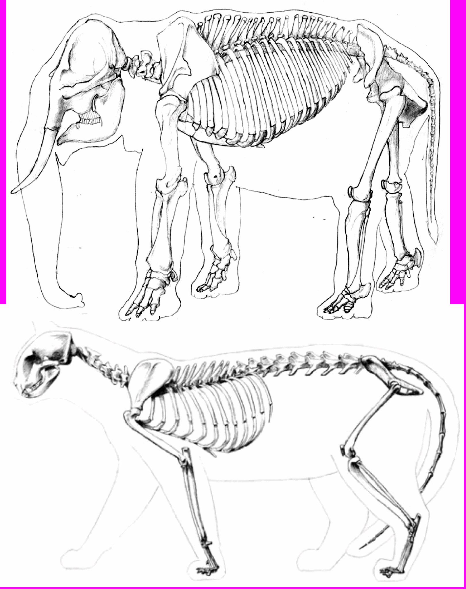Cat Skeleton Drawing