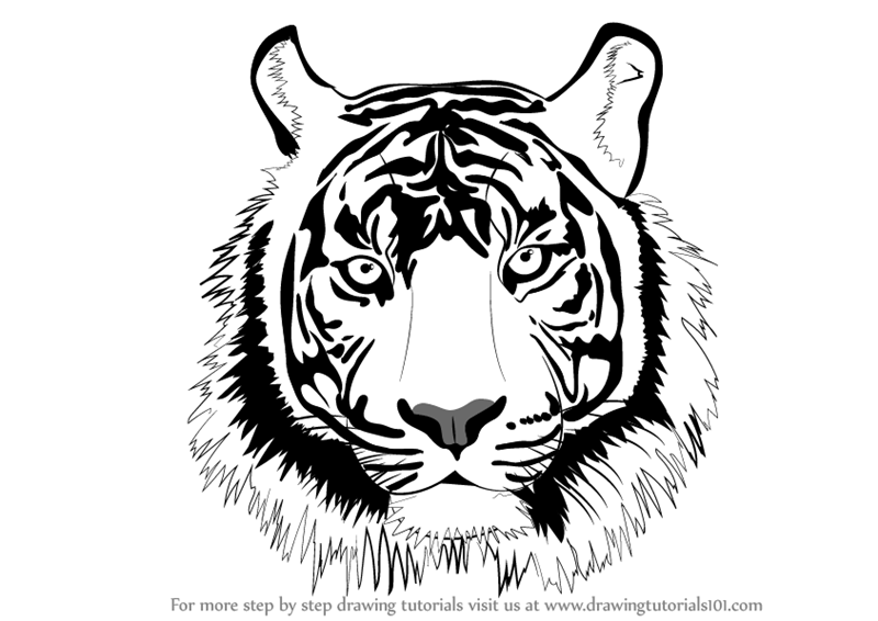 800x566 Learn How To Draw A Tiger Face (Big Cats) Step By Step Drawing