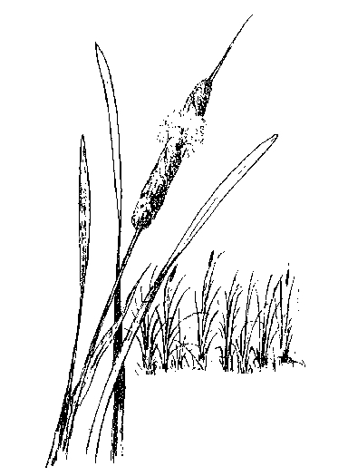 Cattail Drawing