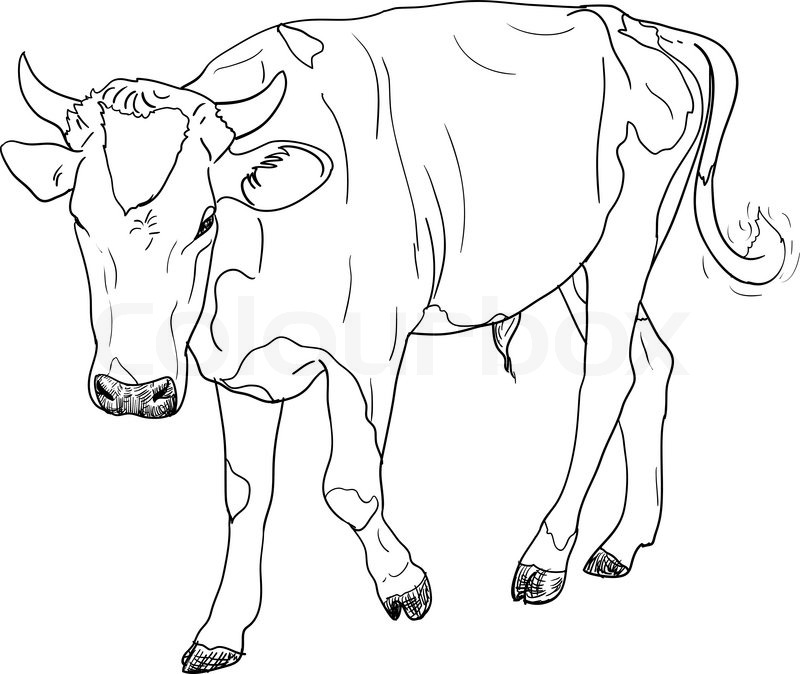 800x674 The Drawing Of Black And White Cow Stock Vector Colourbox