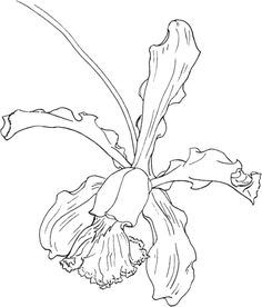 236x276 Cattleya Orchid Drawings