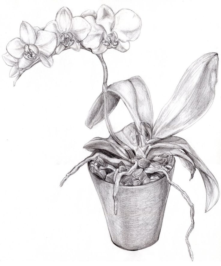 736x885 Orchid Sketch By Faith Te Graphite Pencil Drawing. Realism Drawing