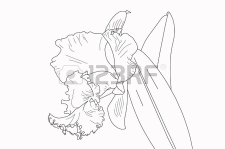 450x298 Blank Cattleya Orchid Lines For Painting Stock Photo, Picture