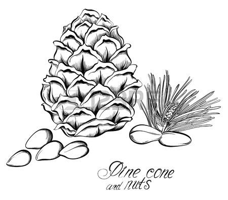 450x394 Pine Cone Of Cedar Spruce Fir Tree. Hand Drawing Vector