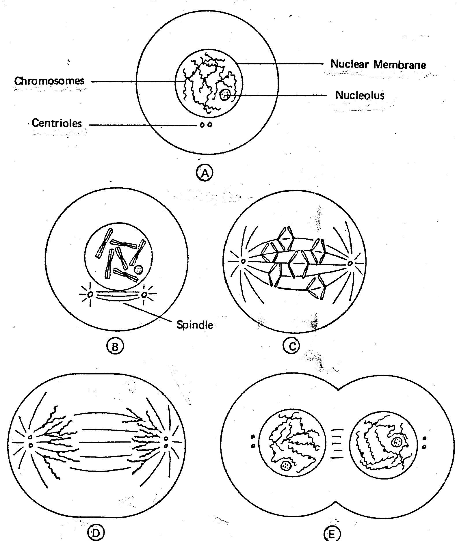 Cell Division Drawing