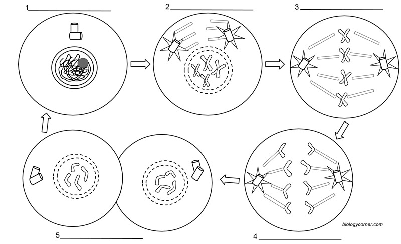 Cell Division Drawing At Getdrawings Free For Personal Use