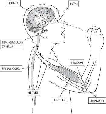 central nervous system drawing at free. Black Bedroom Furniture Sets. Home Design Ideas