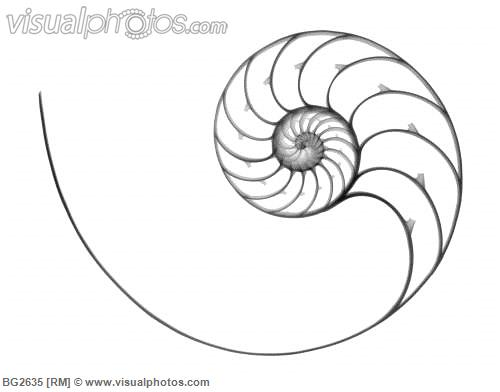 500x392 X Ray Of A Chambered Nautilus (Nautilus Pompilius) Shell. Tattoo
