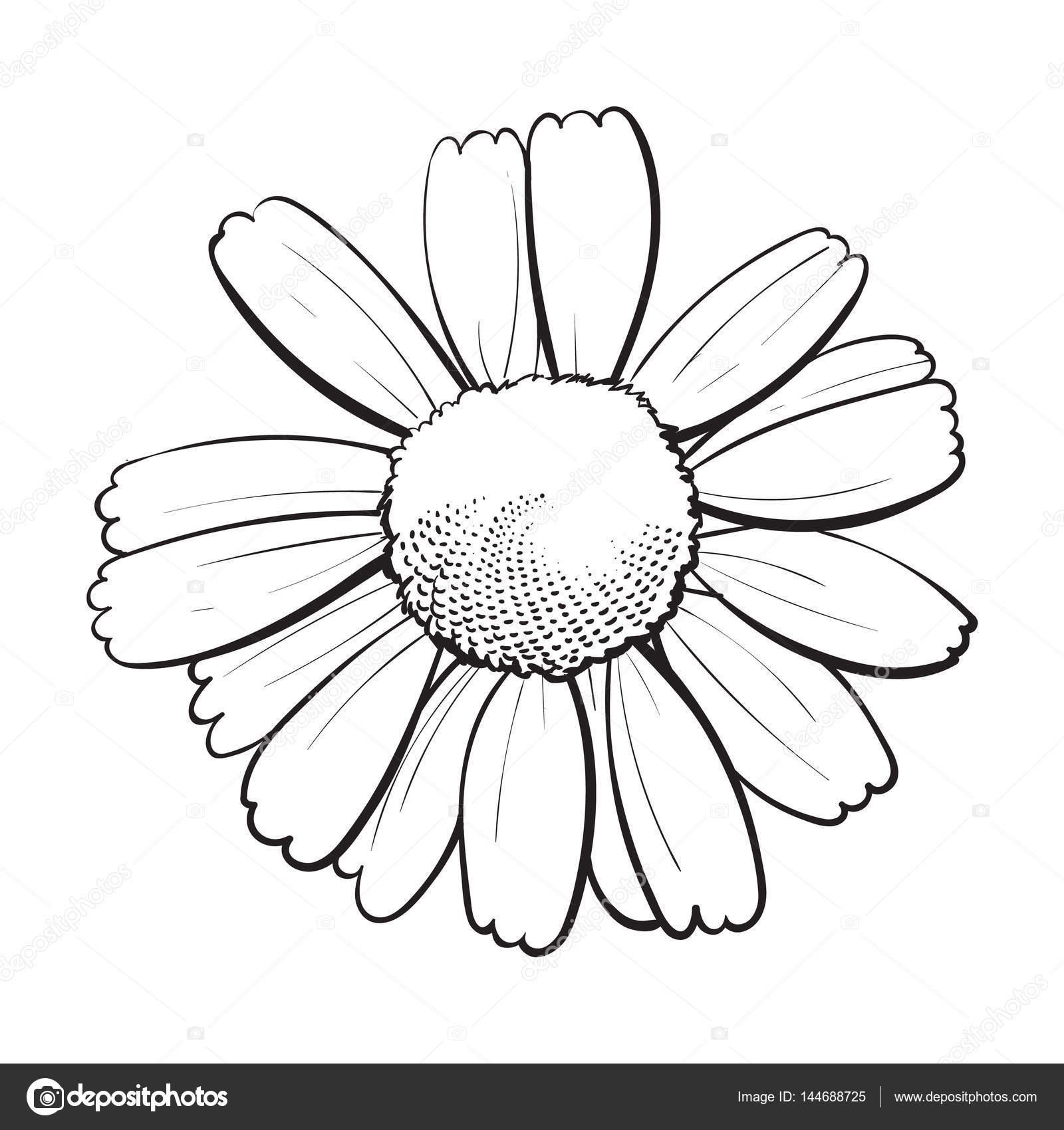 How to draw a daisy, queen of wildflowers 55