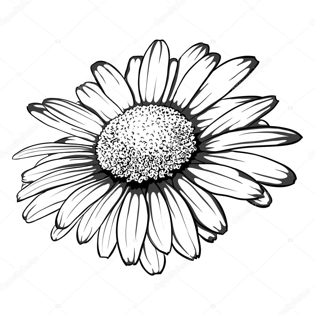 How to draw a daisy, queen of wildflowers 98