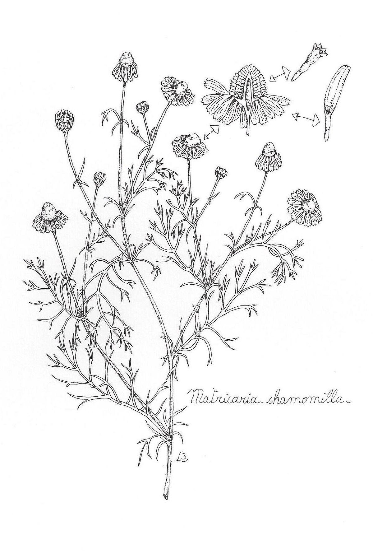 1200x1781 Chamomile German Botanical Illustrations Botanical