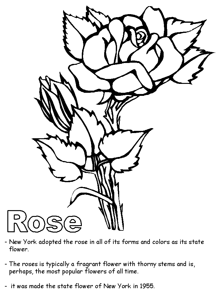Cherokee Rose Drawing