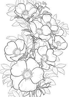 236x333 Cherokee Rose Coloring Page From Roses Category. Select From 20890