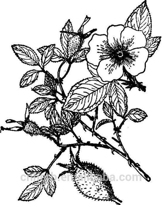 553x700 Dried Cherokee Rose Fruit Rosa Laevigata Jinyingzi Jin Ying Zi