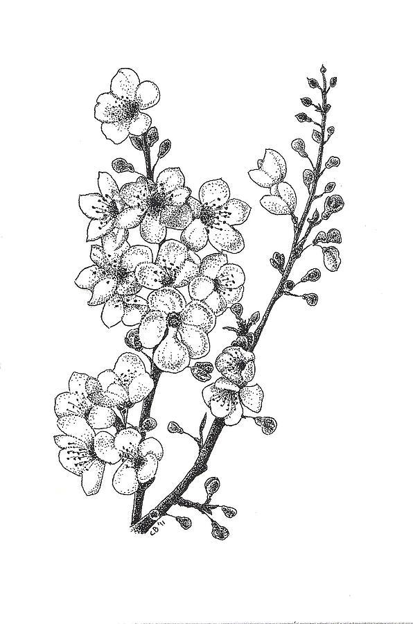 596x900 Drawn Sakura Blossom Black And White