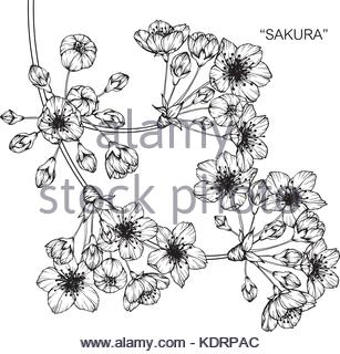 307x320 Cherry Blossom Flower Drawing Illustration. Black And White