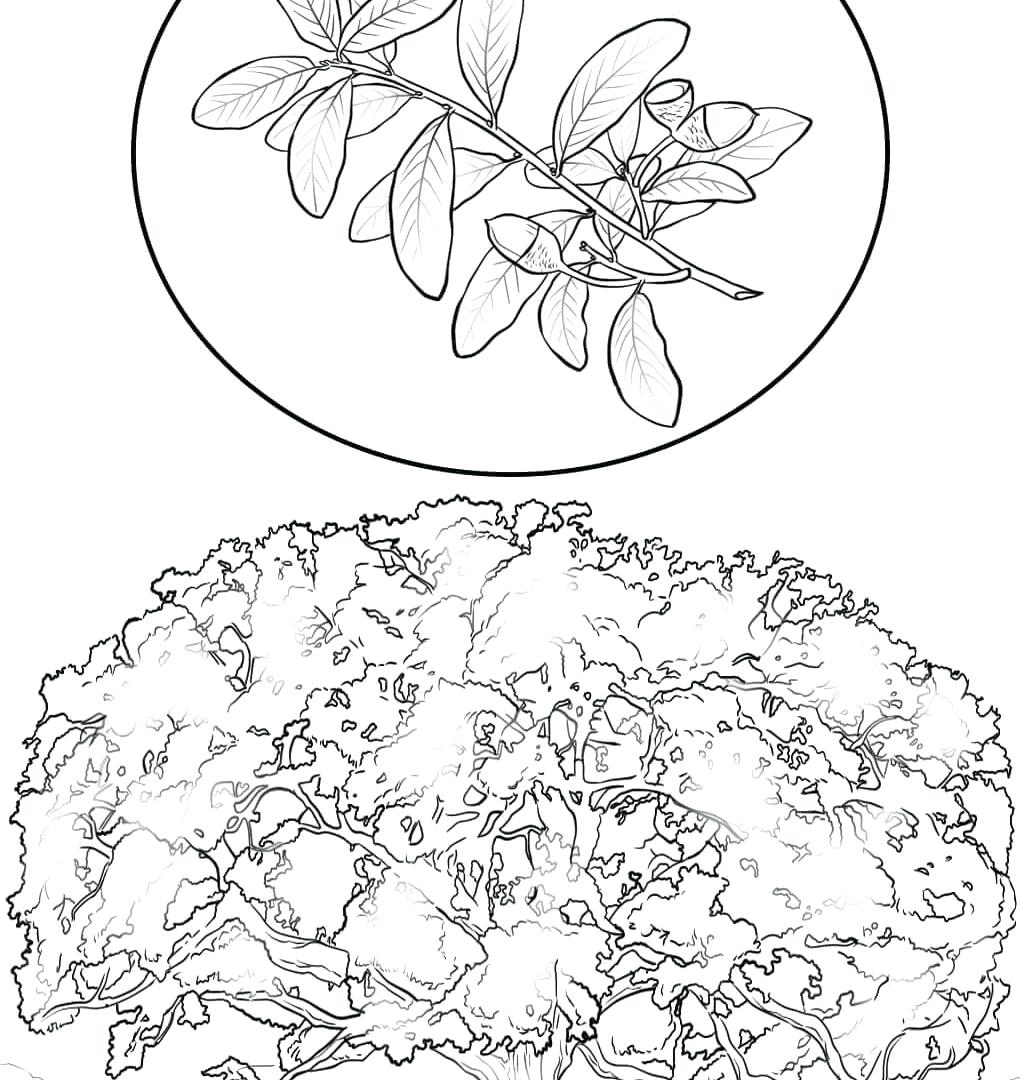 1020x1080 Coloring Cherry Blossom Coloring Pages Blackjack Oak Page Free