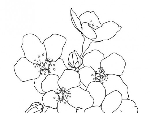 520x393 Asian Cherry Blossoms Coloring Page Coloring