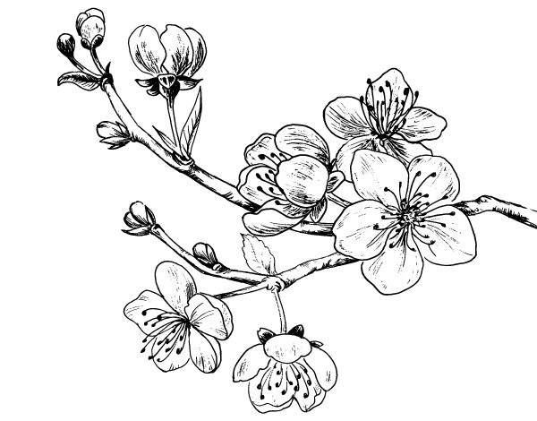 Cherry Blossom Line Drawing at GetDrawings.com | Free for ...