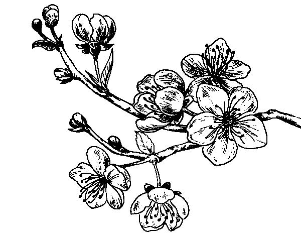600x470 Dibujo De Rama De Cerezo Para Colorear Dibujos De Flores Para