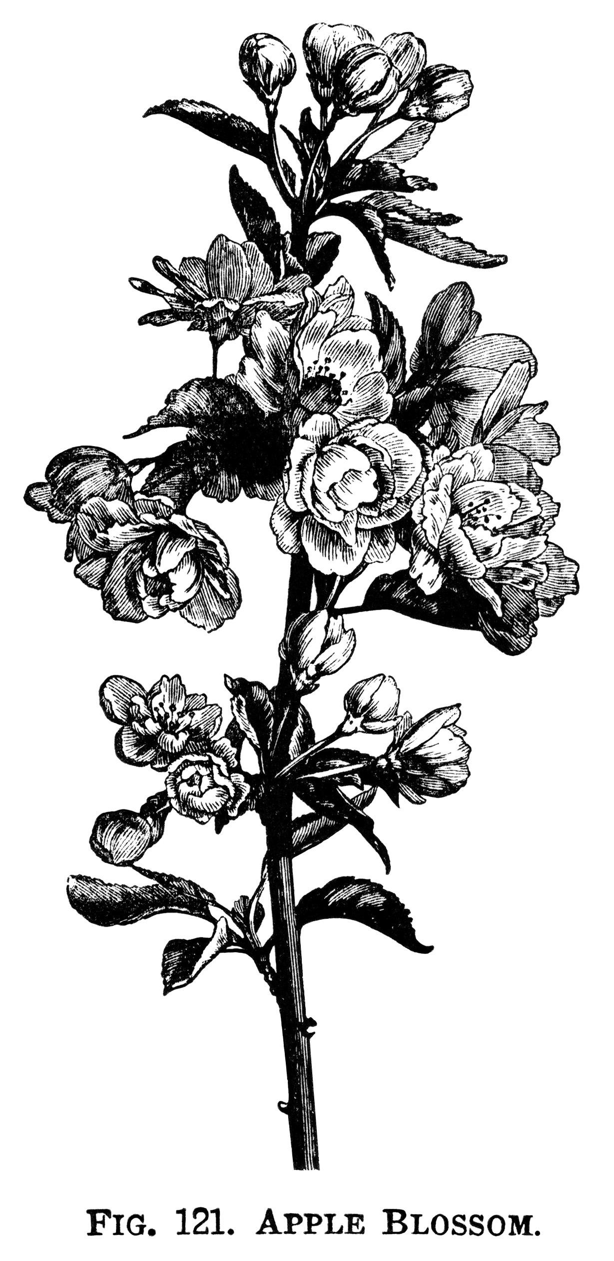 1229x2524 Ume Blossom Clipart Flowering Tree