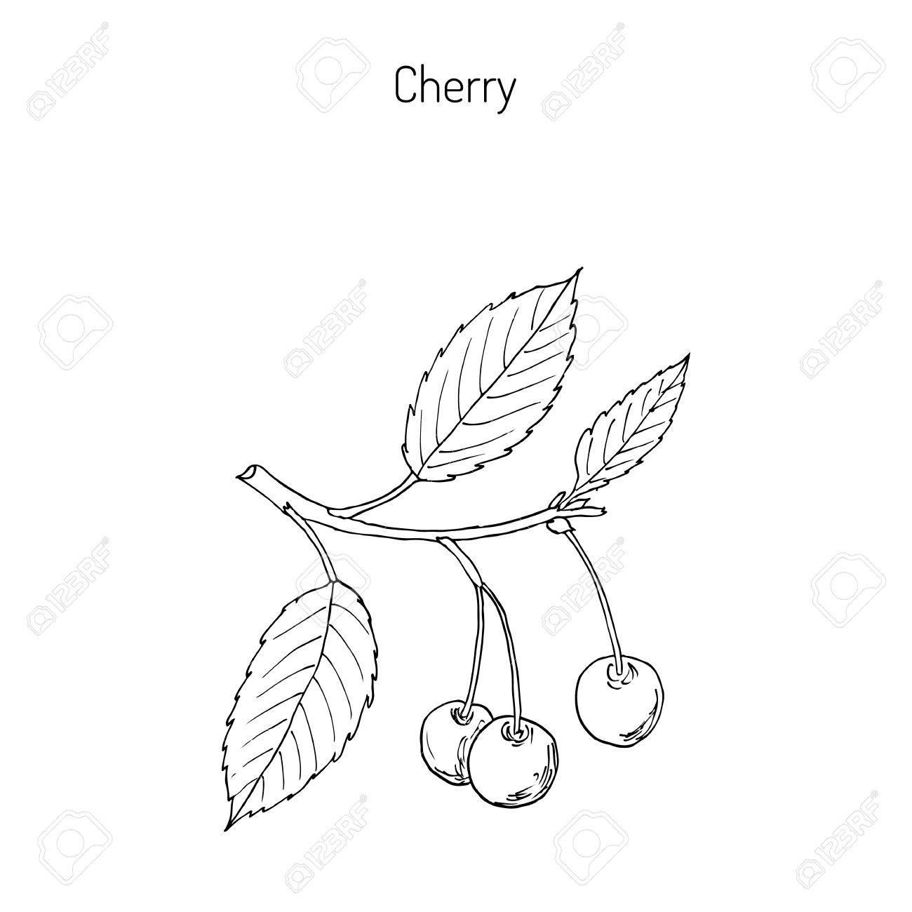 1300x1300 Sour Cherry (Or Tart Cherry, Or Dwarf Cherry) Branch With Cherries