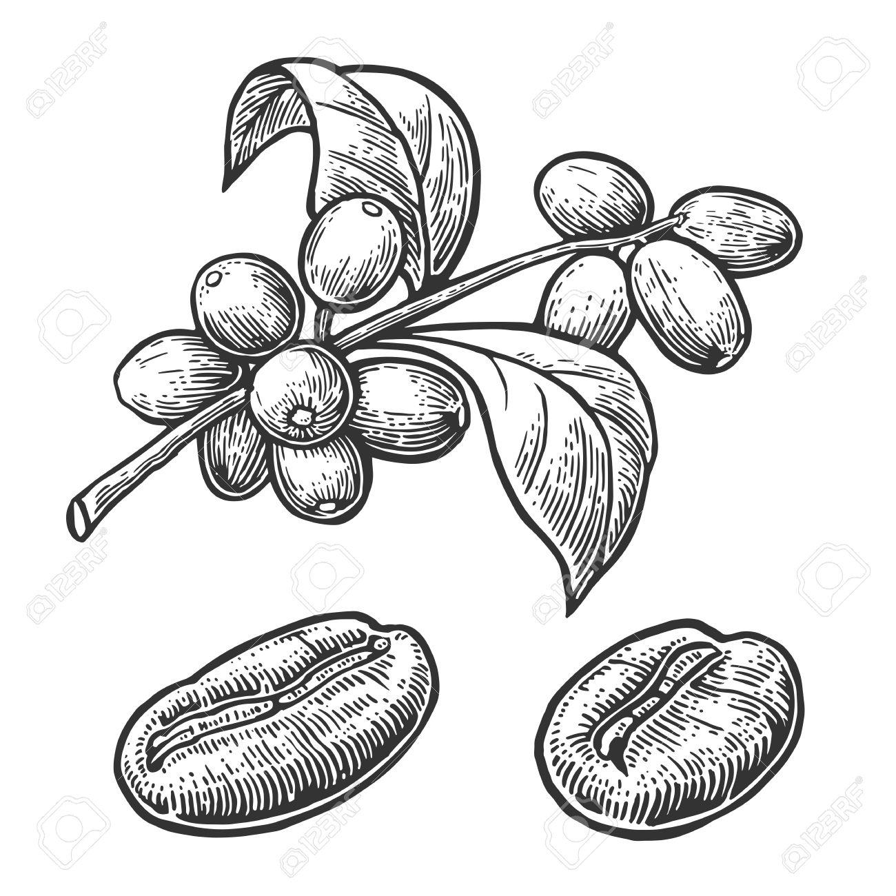 1300x1300 Coffee Bean, Branch With Leaf And Berry. Hand Drawn Vector Vintage