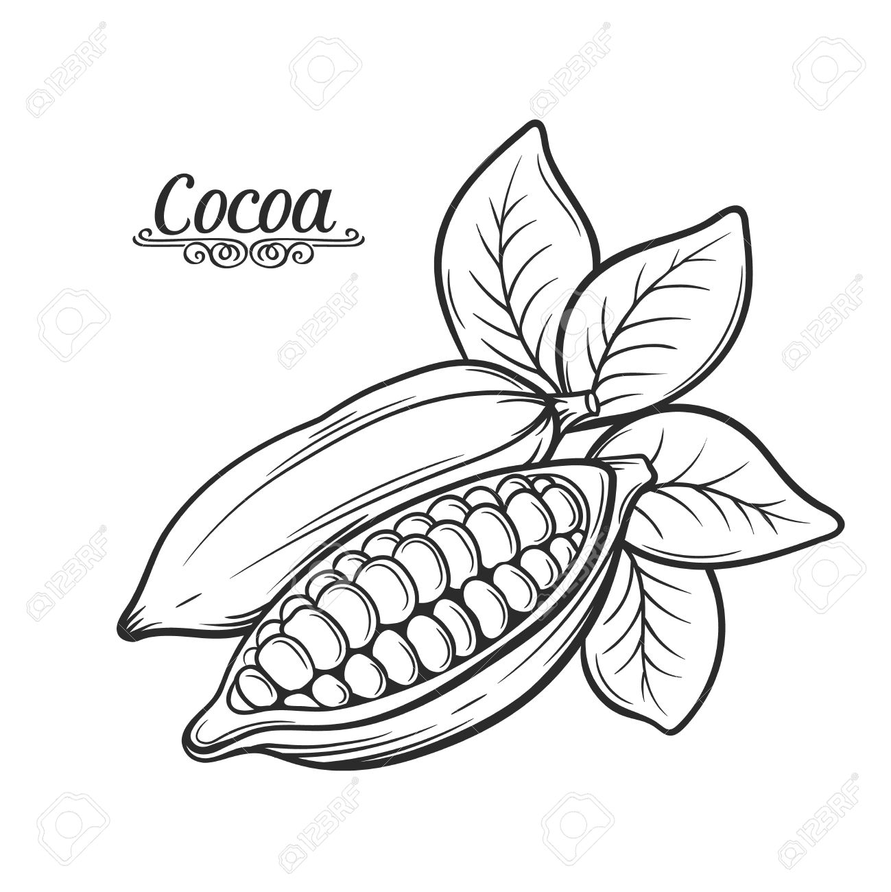 1299x1300 Hand Drawn Cocoa Bean. Vector Decorative Cocoa Bean In