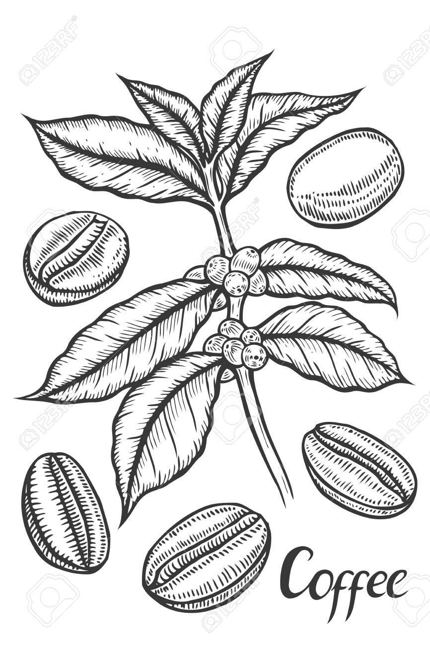 866x1300 Hand Drawn Sketch Of Coffee Plant Branch With Leaf, Berry, Coffee