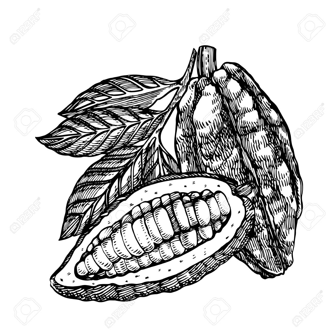 1300x1300 Sketched Hand Drawn Cacao Beans Set Royalty Free Cliparts, Vectors