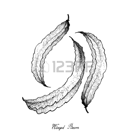 450x450 Vegetable, Illustration Of Hand Drawn Sketch Fresh Winged Bean