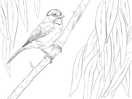 430x323 Chickadee Coloring Page Click To See Printable Version Of