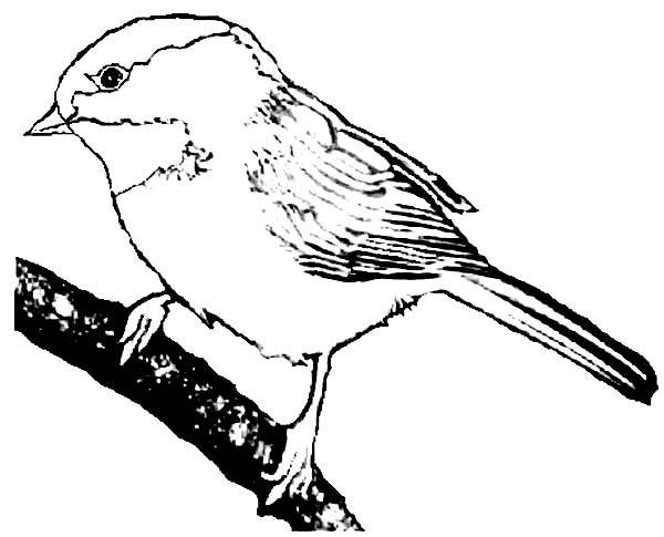 600x485 Chickadee Realistic Drawing Of A Coloring Page Awesome