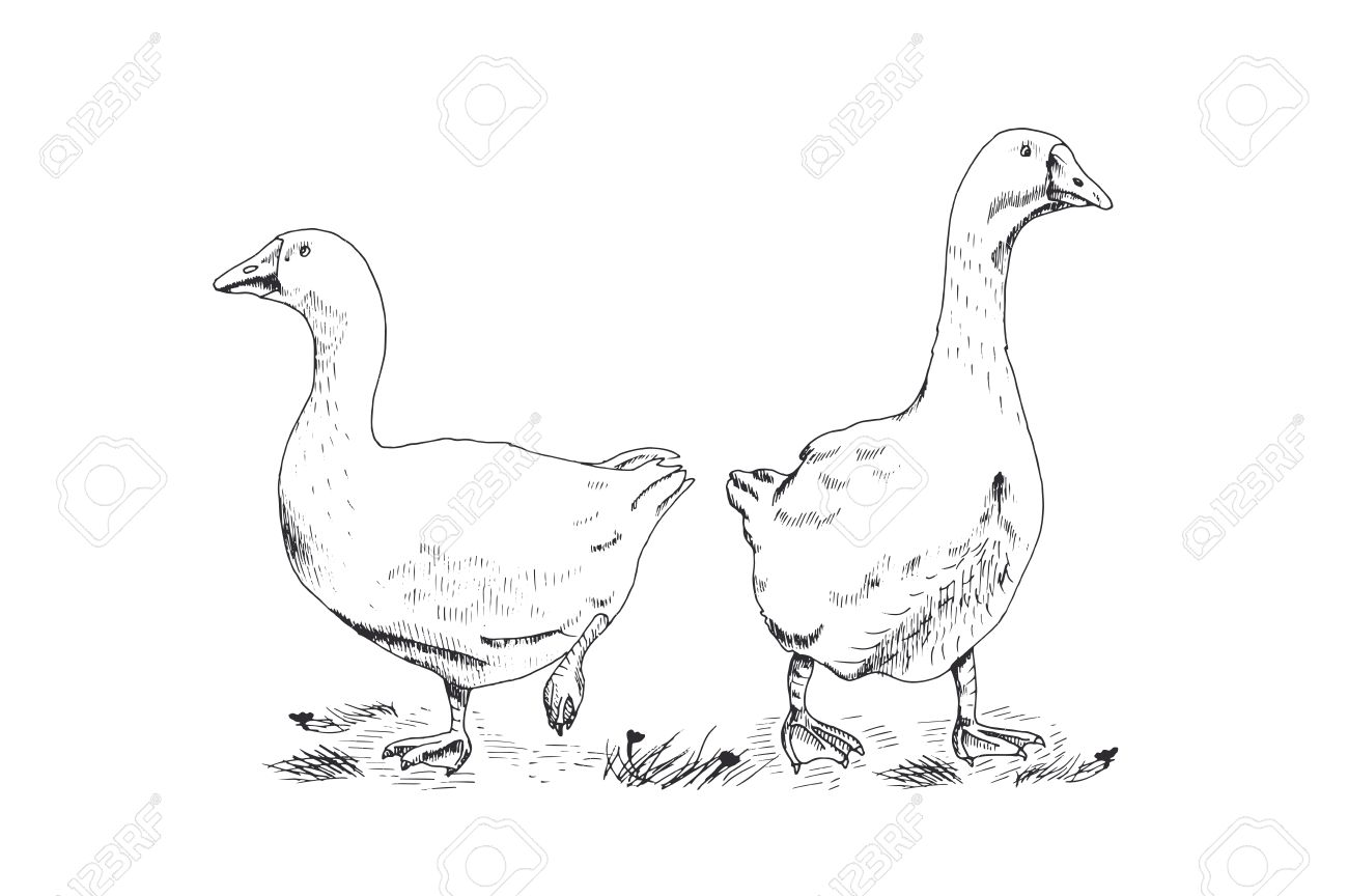 1300x864 Hand Drawing Geese On White Background Royalty Free Cliparts