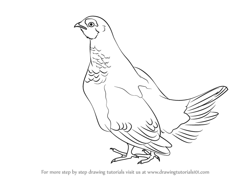 800x566 Learn How To Draw A Spruce Grouse (Birds) Step By Step Drawing