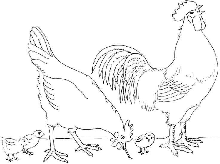 736x549 Coloring Rooster And Hen With Her Chicks Picture Woodworking