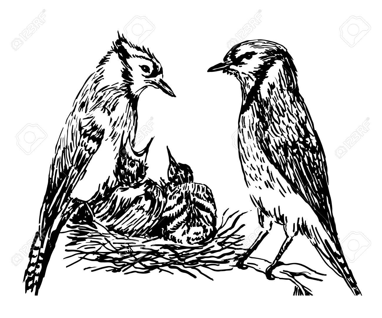 1300x1083 Drawing A Pair Of Forest Birds In The Nest Feeding Chicks Sketch
